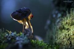 gljiva-bubamara