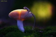 gljiva-guster