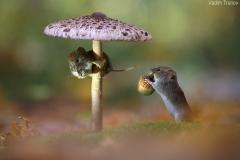 gljiva-misevi