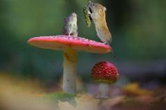 gljive-misevi