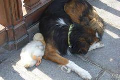 neobična životinjska prijateljstva 27