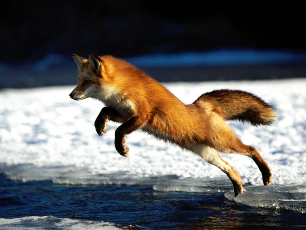 Upoznavanje srebrne lisice