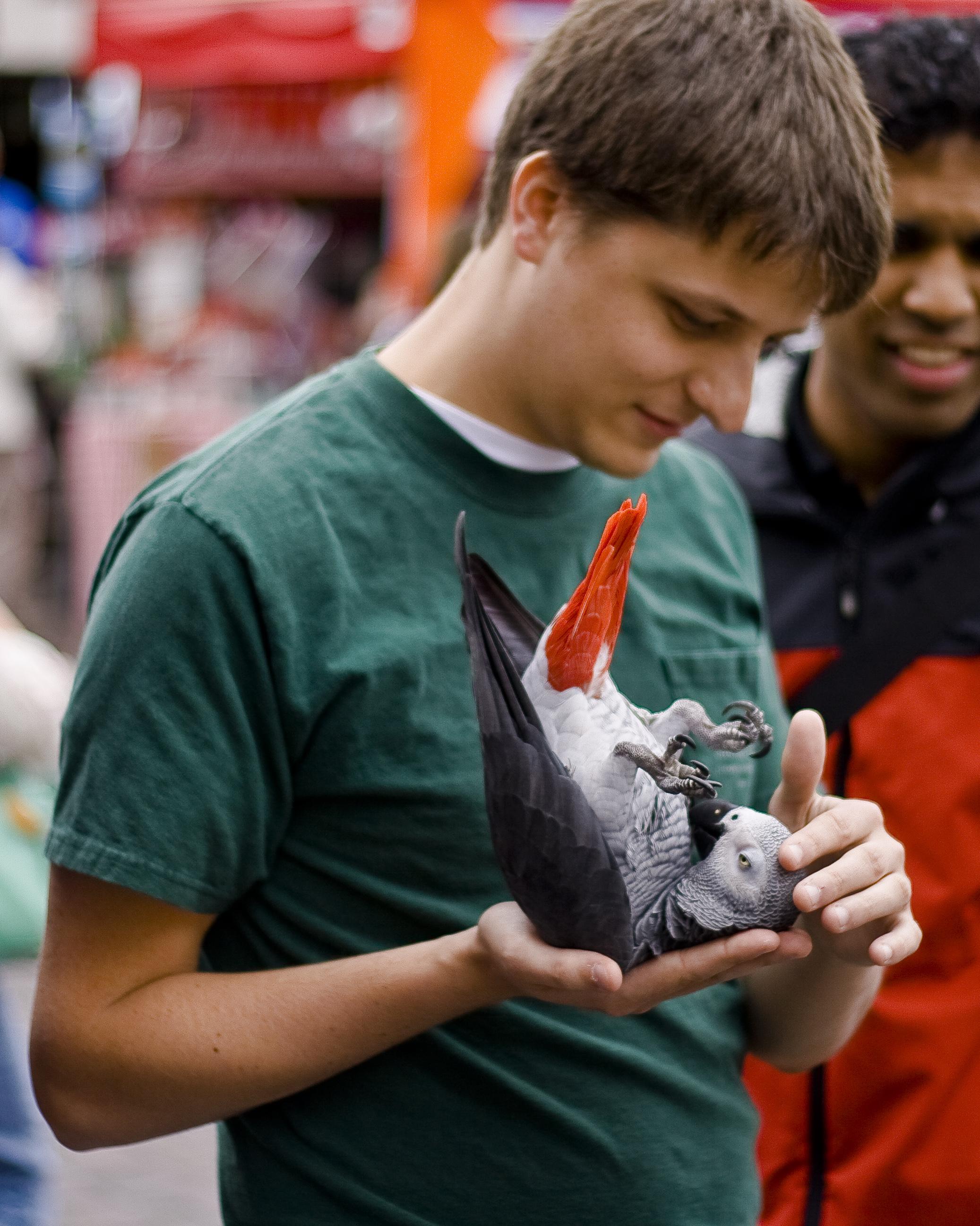 Žako – afrički sivi papagaj (Psittacus erithacus)