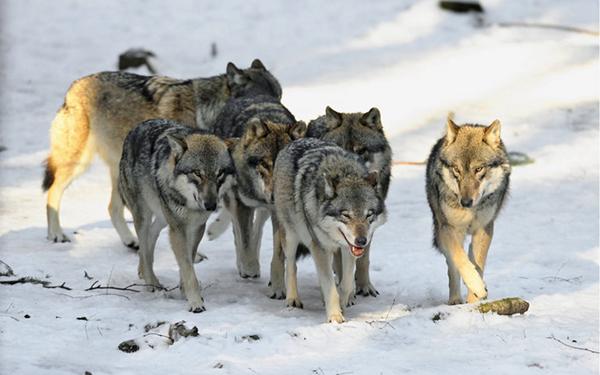 vukovi, vučji čopor