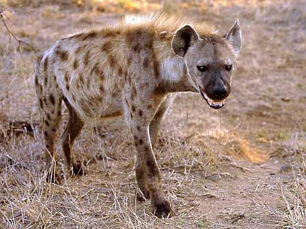 pjegava hijena