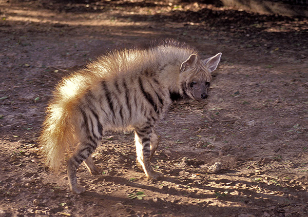 prugasta hijena