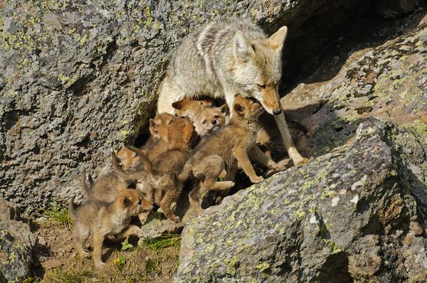stepski vuk - kojot