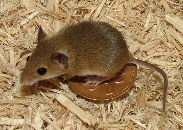 afrički pigmejski miš