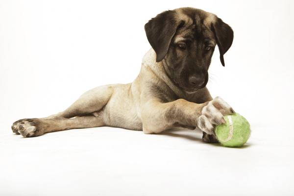 anatolski pastirski pas, štene