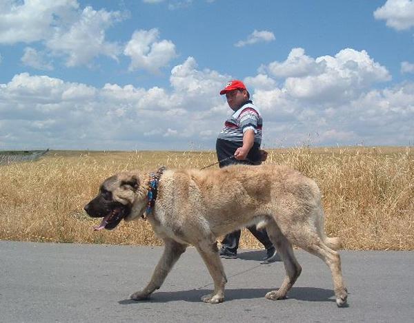 anatolski pastirski pas, kućni ljubimac