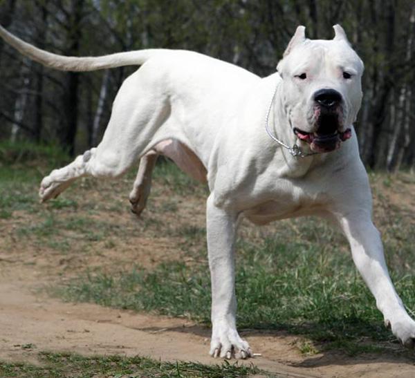 argentinski mastif, argentinska doga
