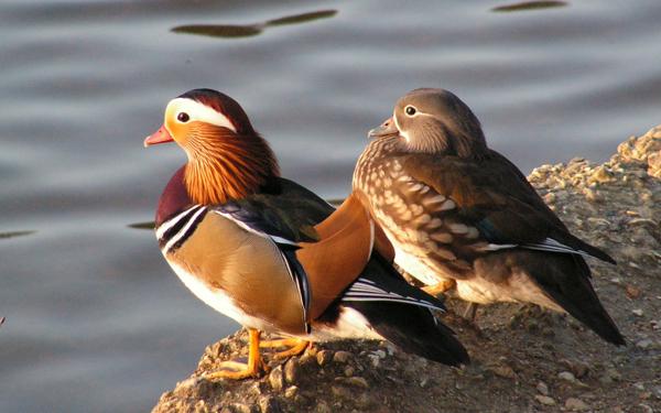 mandarinka, mužjak i ženka