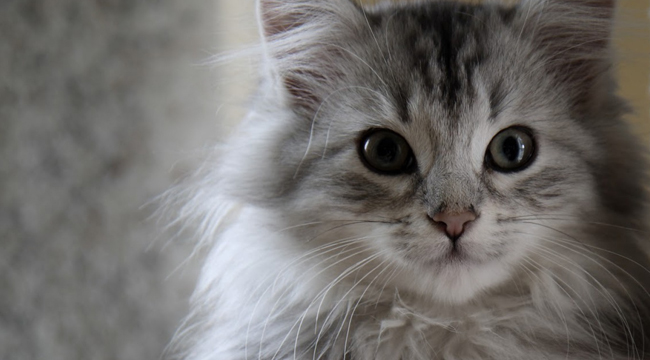 sibirska mačka, kućni ljubimci