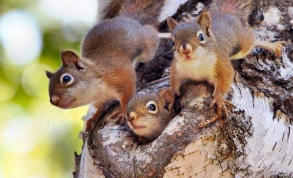 vjeverice, glodavci