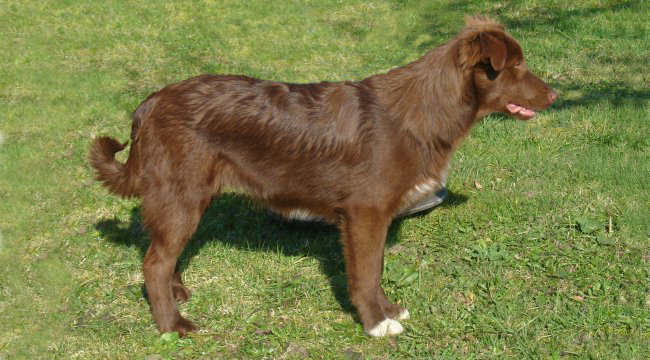atlaski planinski pas, atlaski ovčar