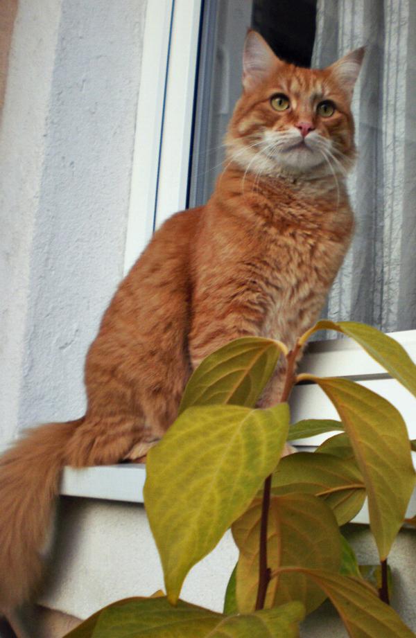traži se mačak Ozelot