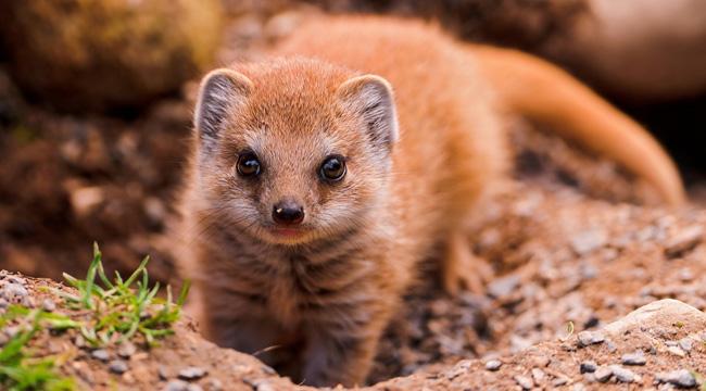 mungos, mongoose