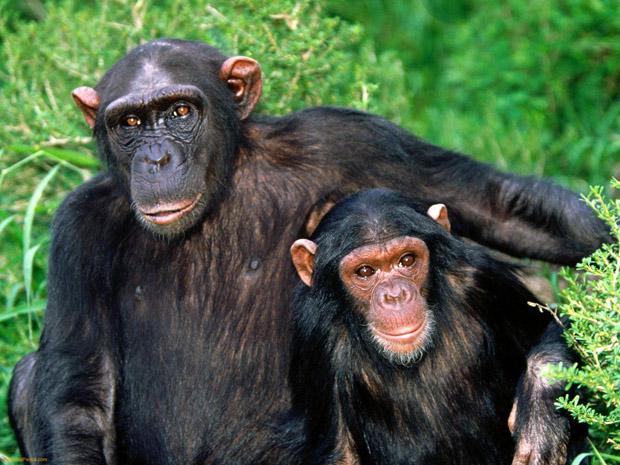 čimpanza - čovjekoliki majmun
