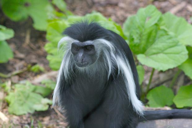 colobus majmun