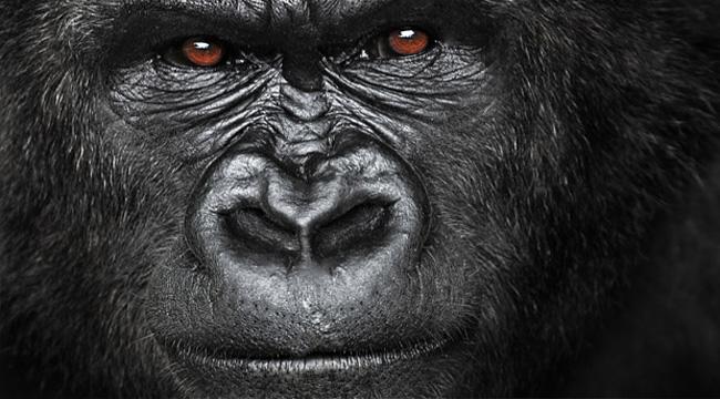 gorila - čovjekoliki majmun
