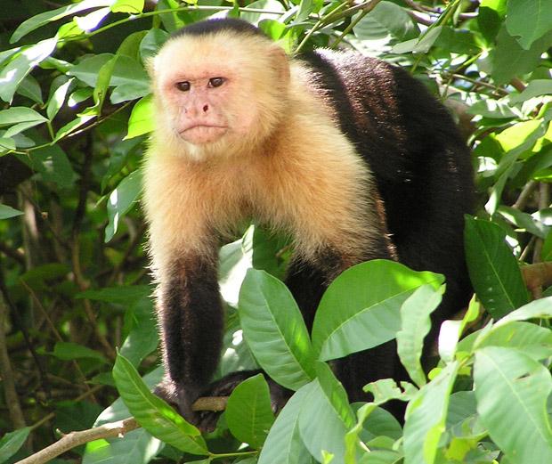 majmun kapuciner