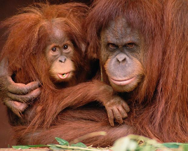 orangutan i beba