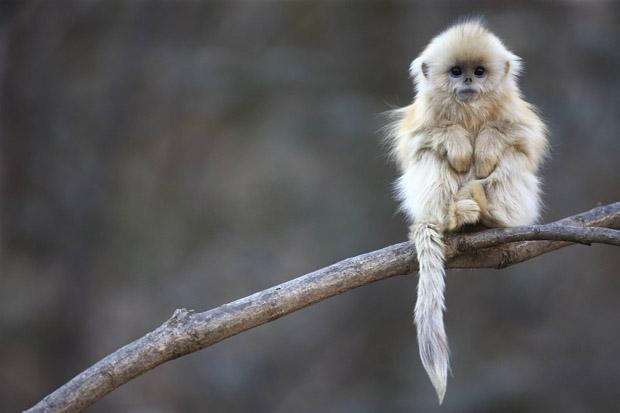 majmuni zamorci
