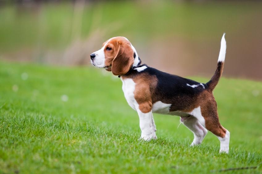 bigl, beagle