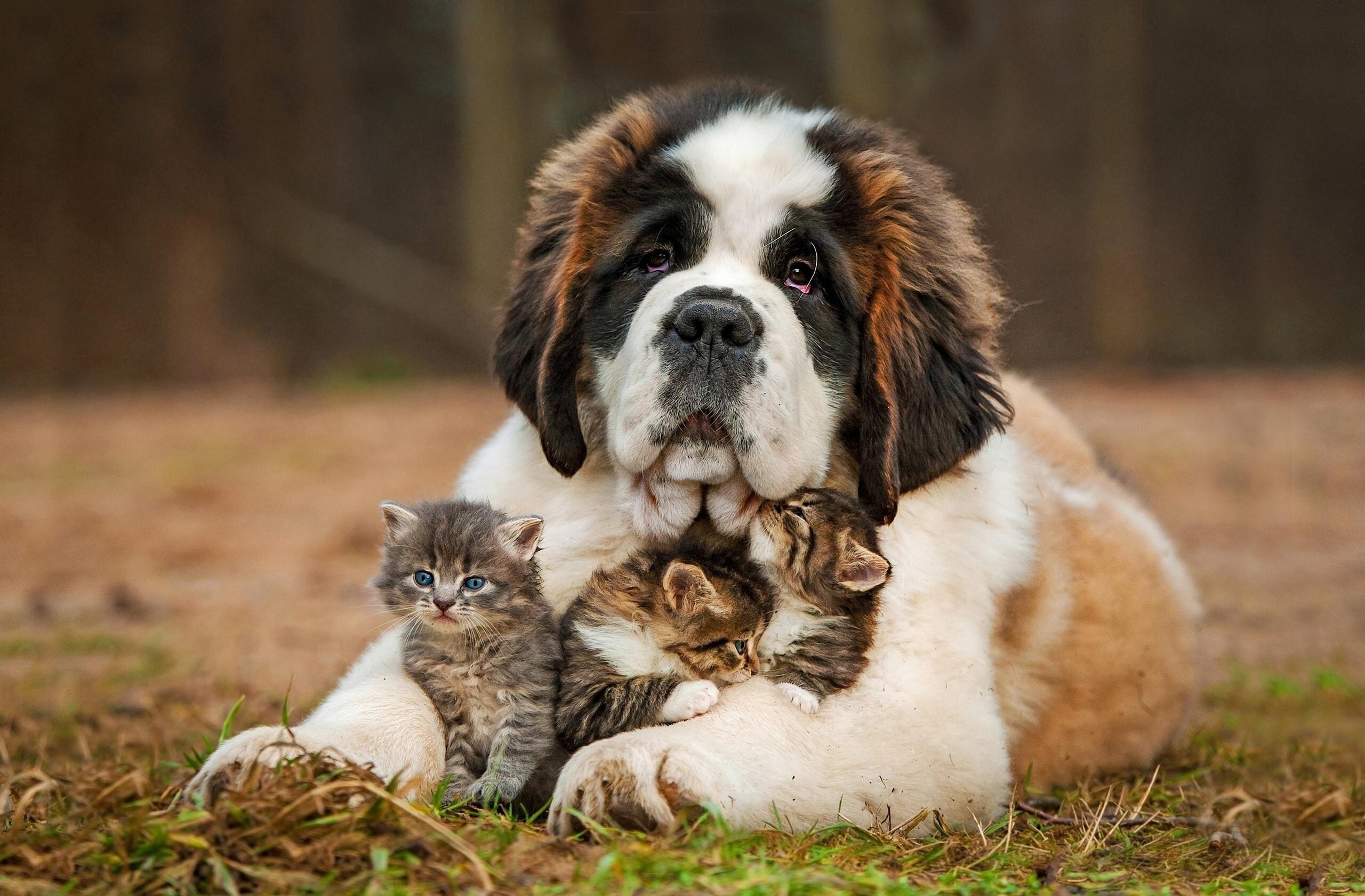bernardinac kratkodlaki štene