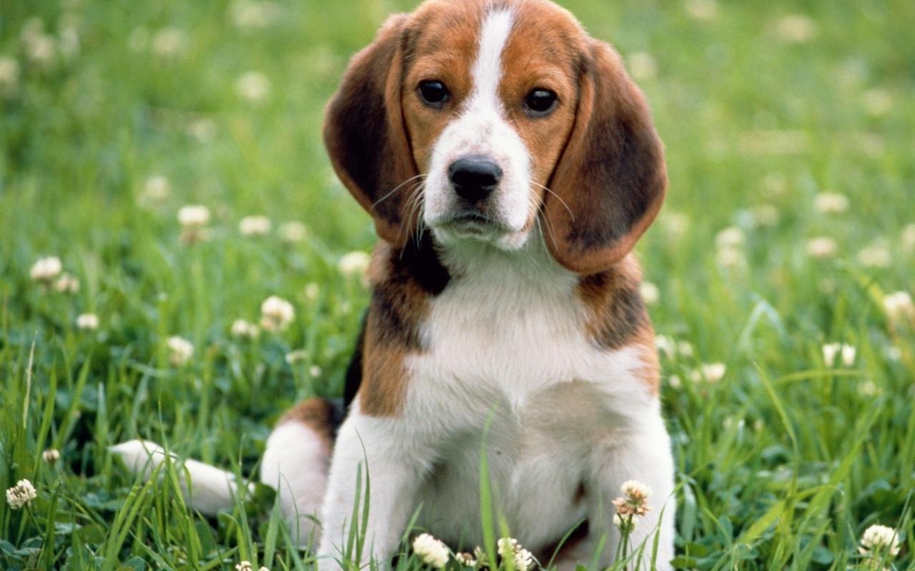 bigl, beagle - slika 2