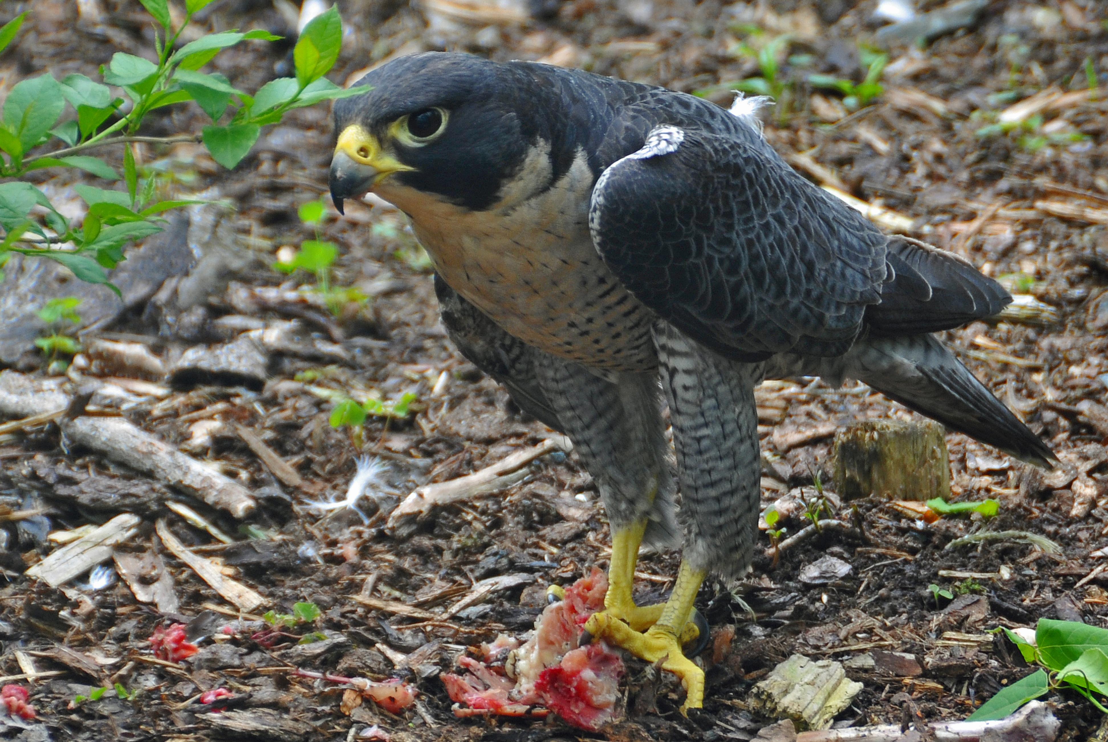 Sivi sokol - falco peregrinus