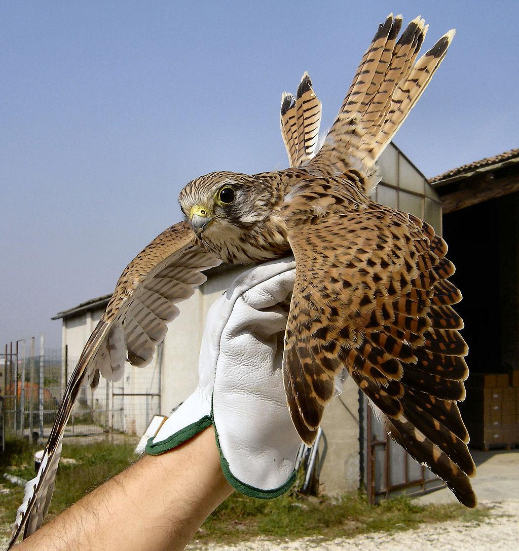 vjetruša klikavka - falco tinnunculus