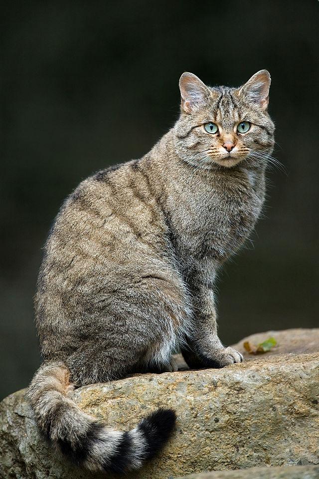 europska divlja mačka - felis silvestris silvestris