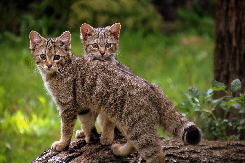 europska dvilja mačka - mačići