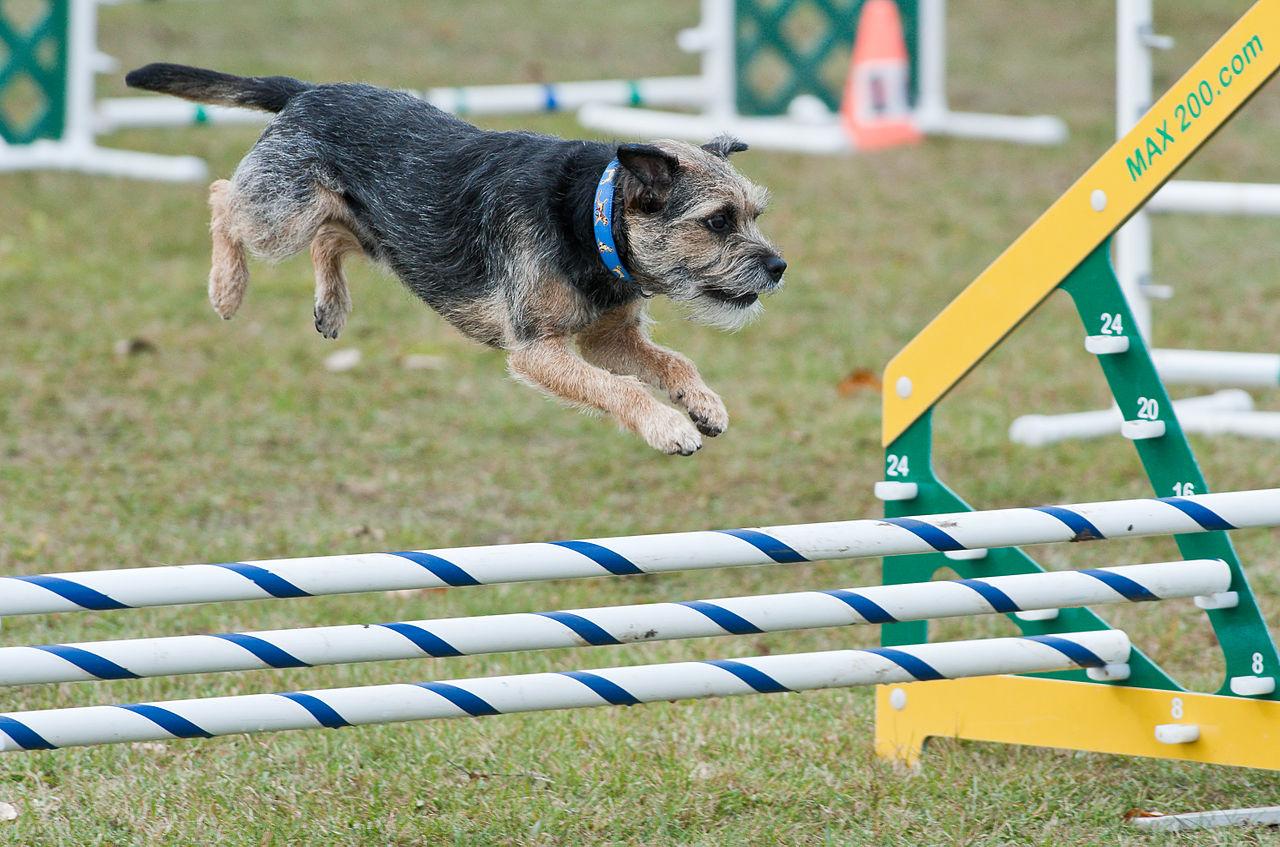 Granični terijer - Border Terrier - Agility pas