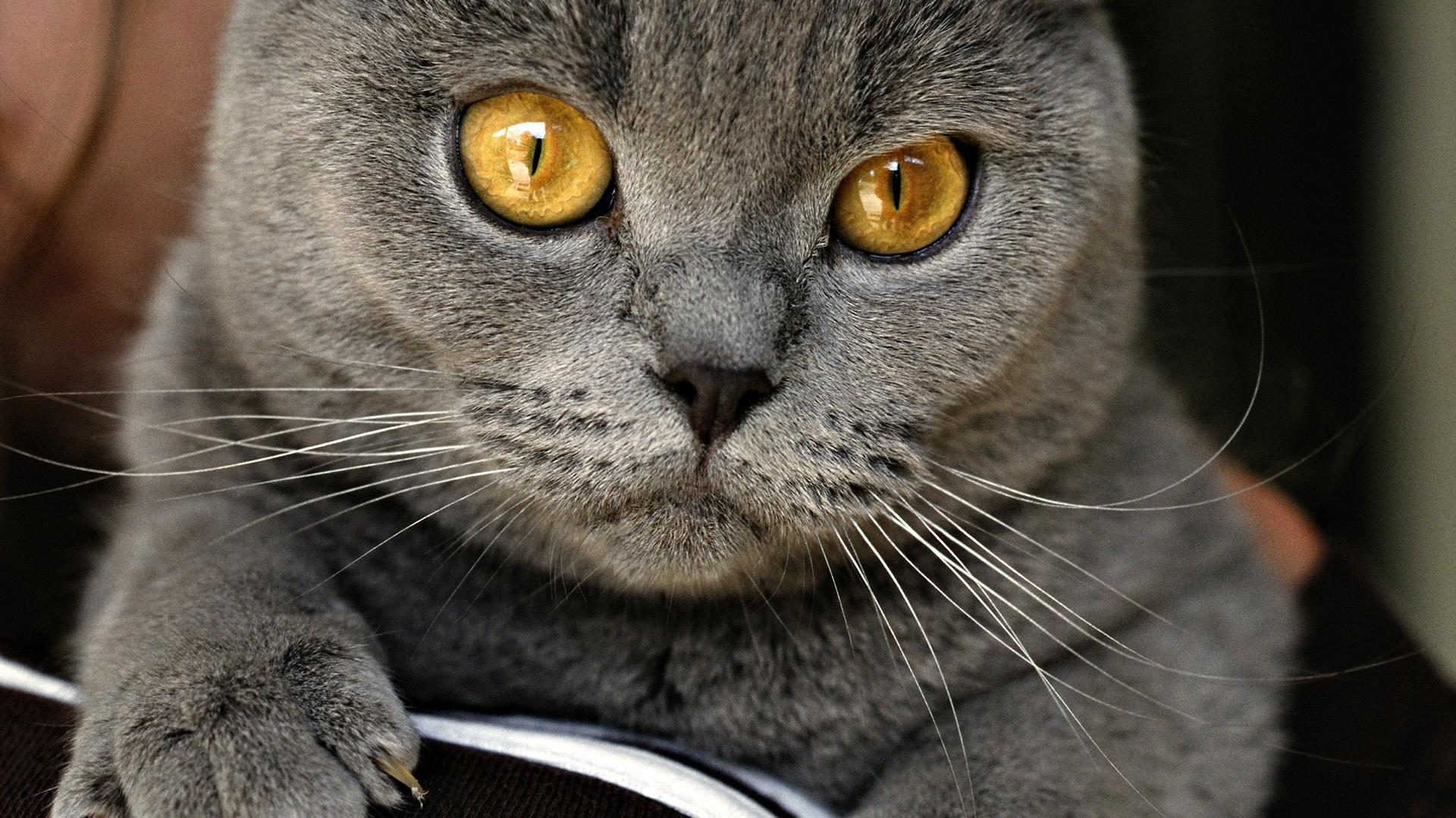 Kartuzijska mačka (CHA) Chartreux - slika 2