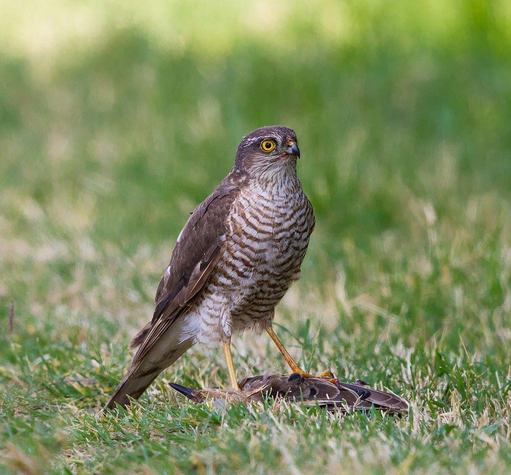 Kobac ptičar - Accipiter nisus