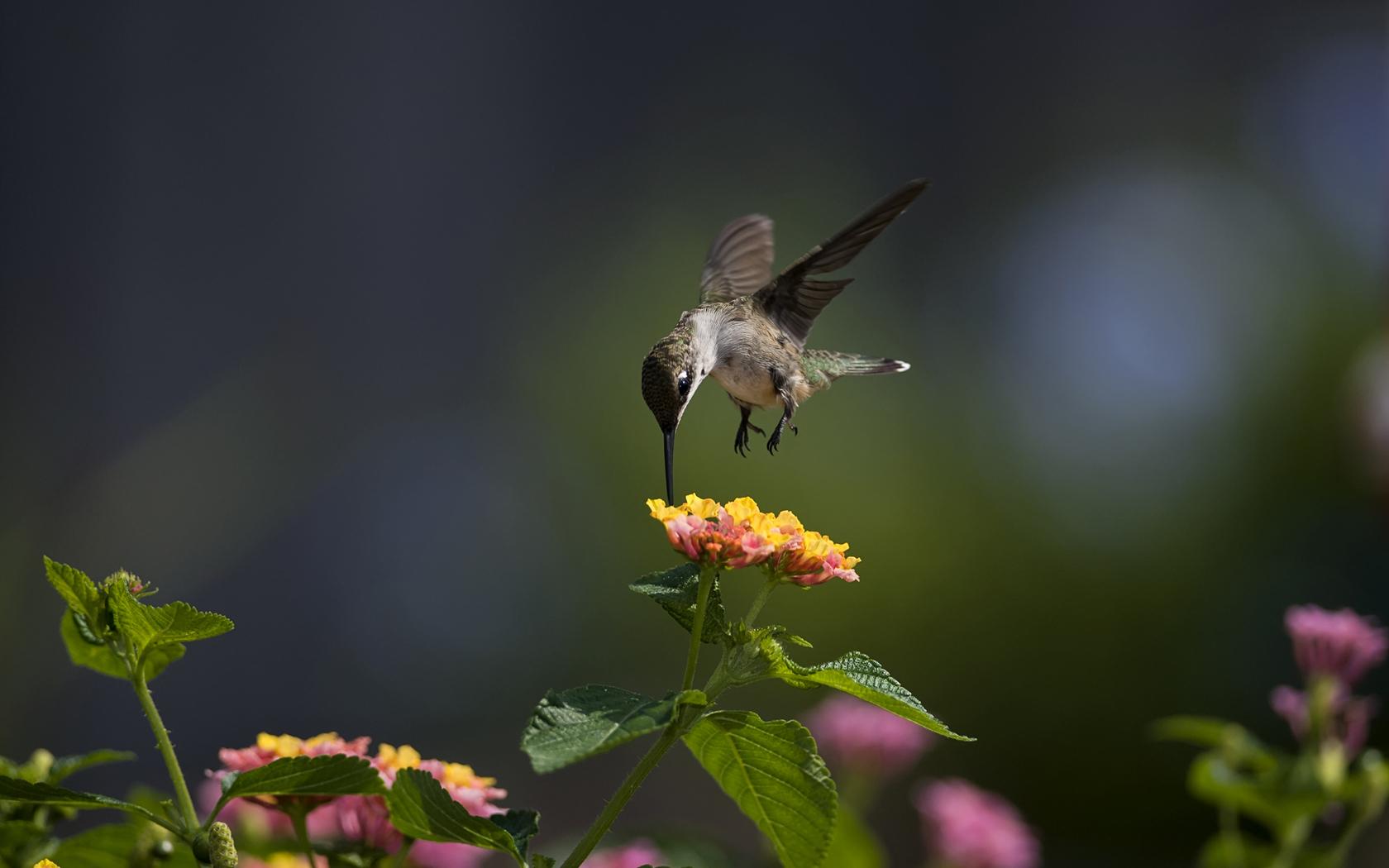 kolibrići hranjenje nektarom