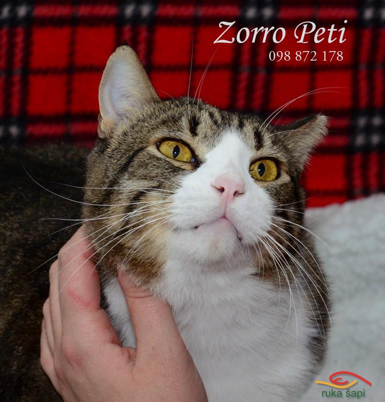 Zorro Peti mačak za udomljavanje