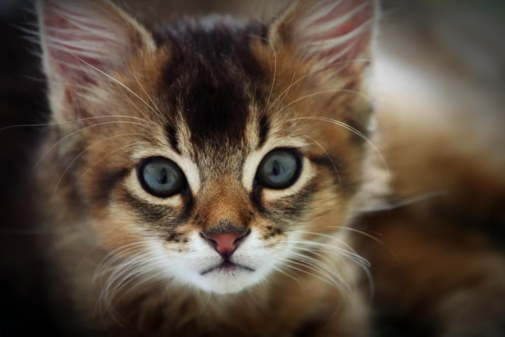 somalijska mačka - mačić