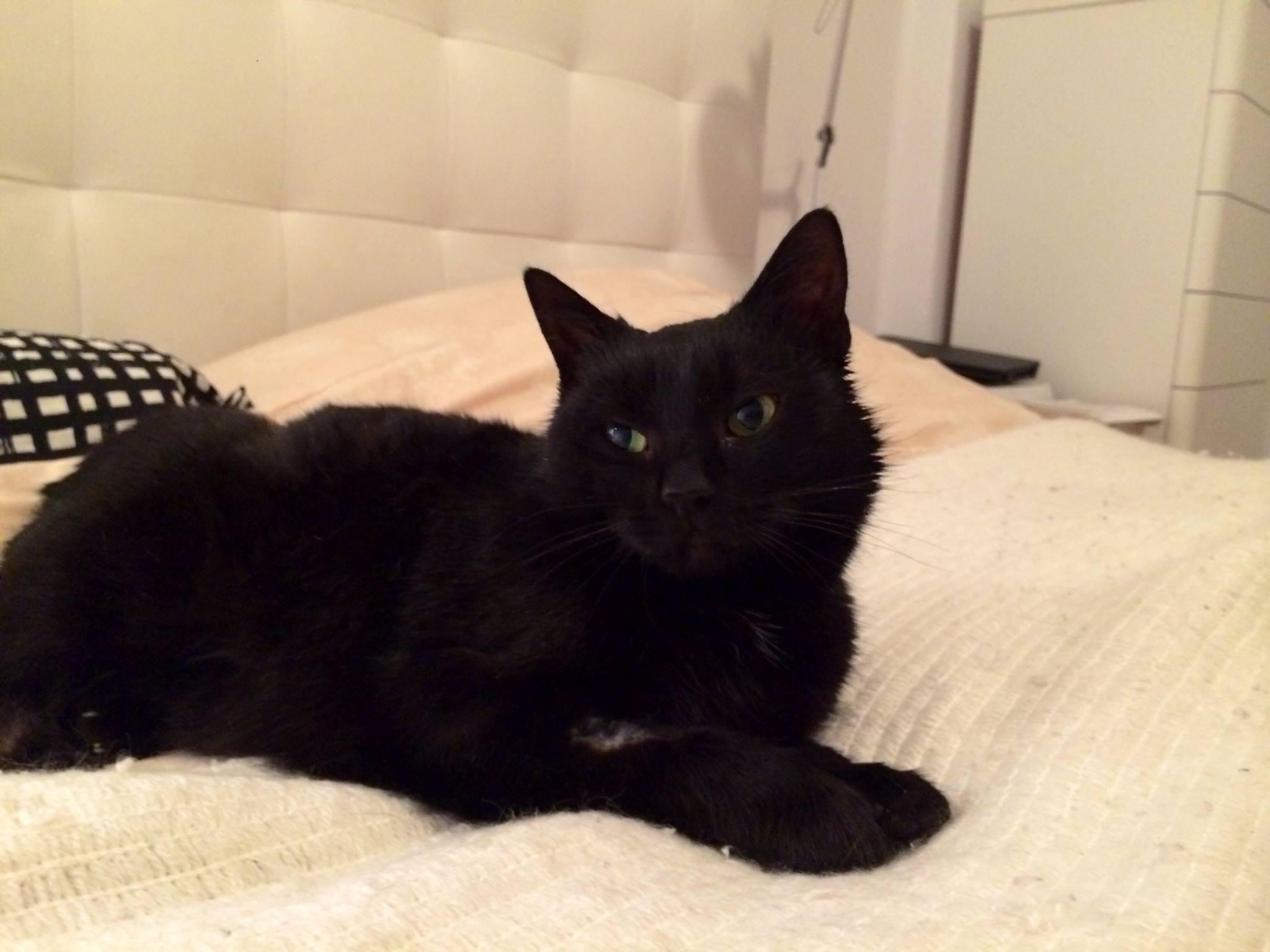 mačka za udomljavanje Crnčica