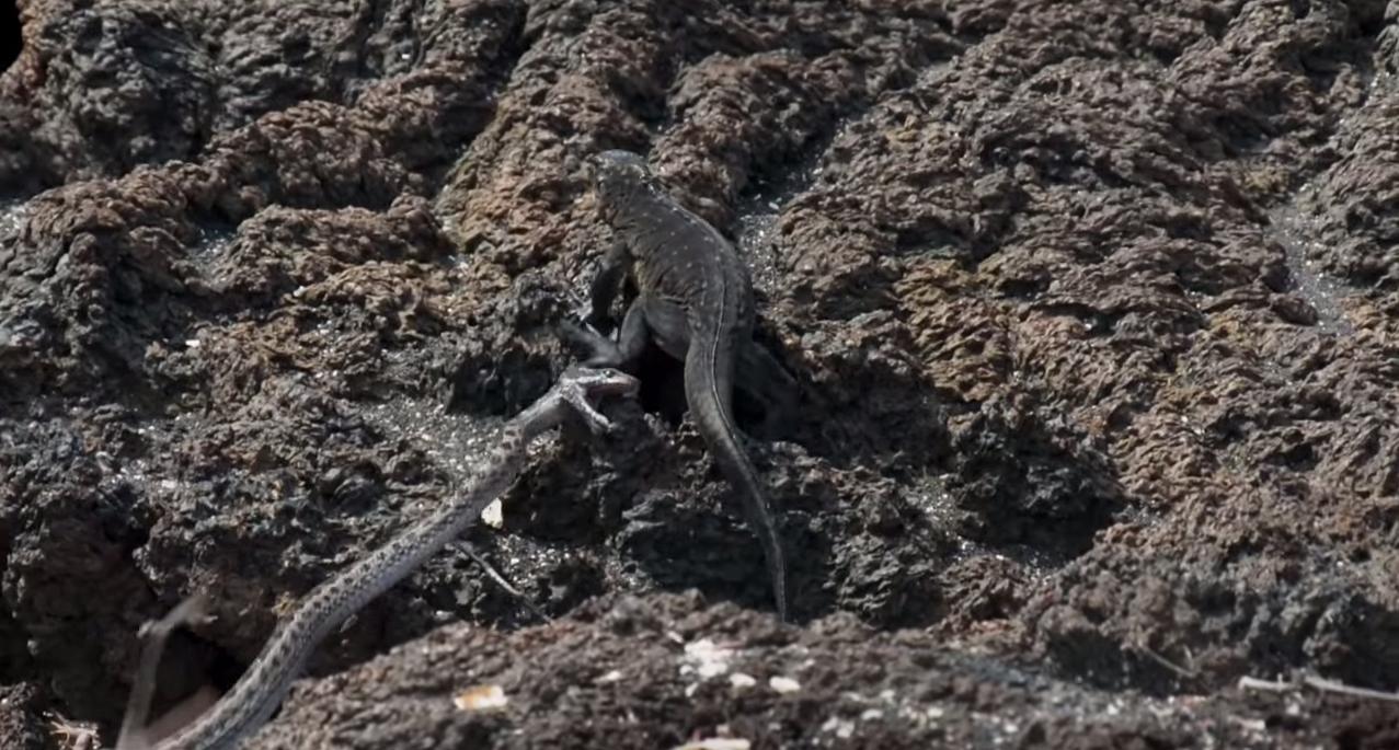 morska iguana bijeg od zmija