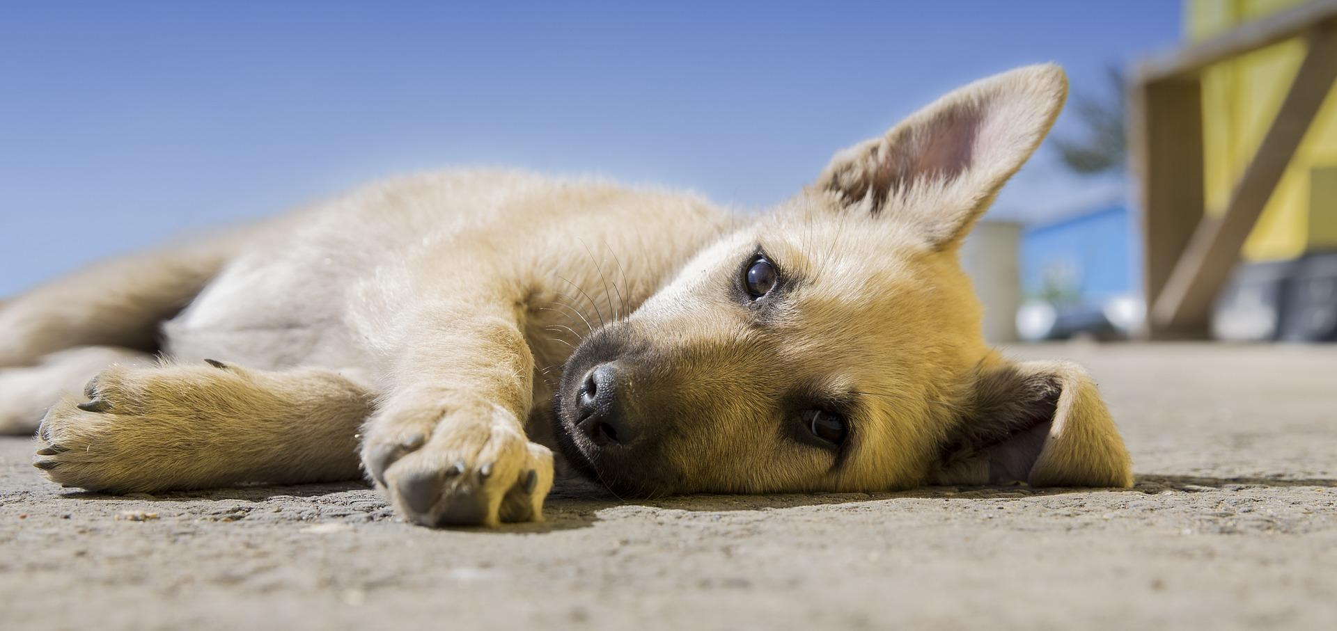 štene pas